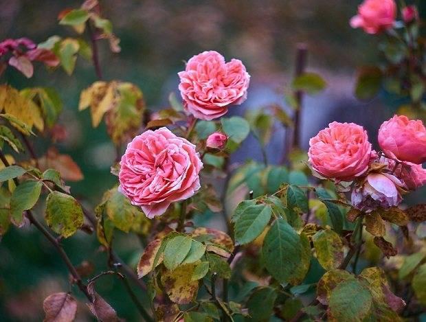 Как правильно подготовить розы к зиме? укрытие плетущихся кустов- обзор +видео