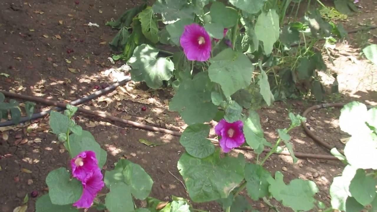 Мальва многолетняя: виды и фото цветов, размножение, посадка и уход