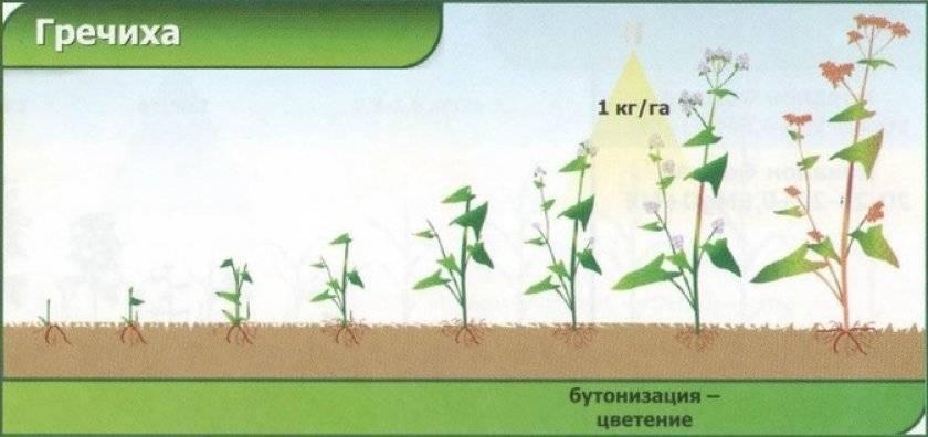 Технология выращивания гречихи