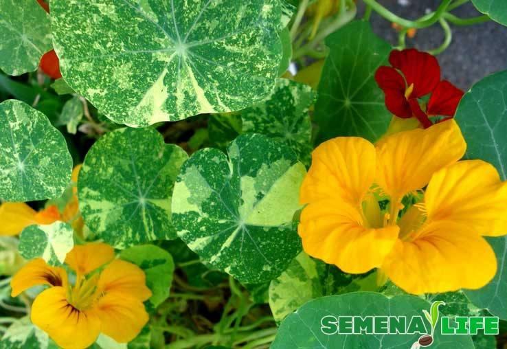 Выращивание рассады настурции из семян: правила посадки и ухода