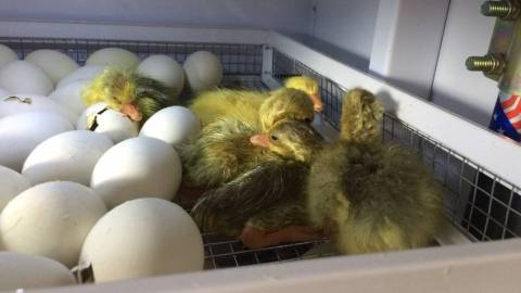 Все о процессе инкубации яиц мускусной утки в домашних условиях