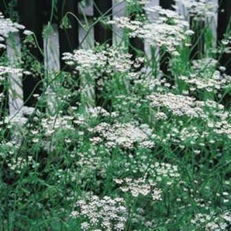 Как выращивать зиру из семян дома и на улице: описание, подготовка и правильный уход