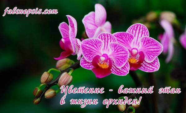 Как вырастить орхидею из цветоноса — три простых способа получить деток