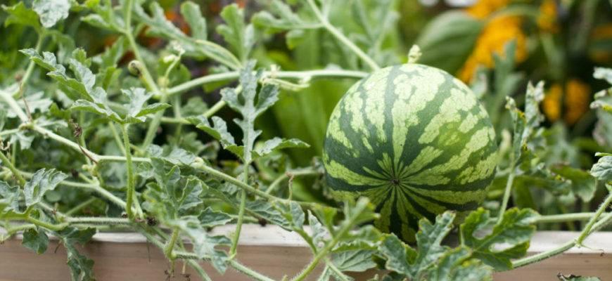 Как вырастить арбузы в сибири