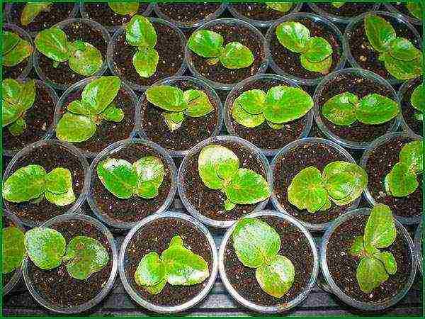 Бегония из семян в домашних условиях