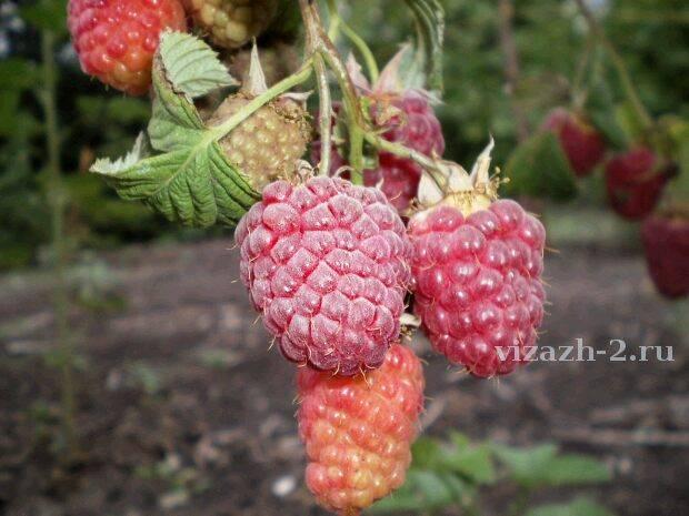 Рентабельность малины. выращивание малины как бизнес – технология и рентабельность