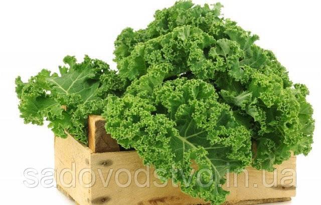 Капуста кале: полезные свойства, выращивание и уход