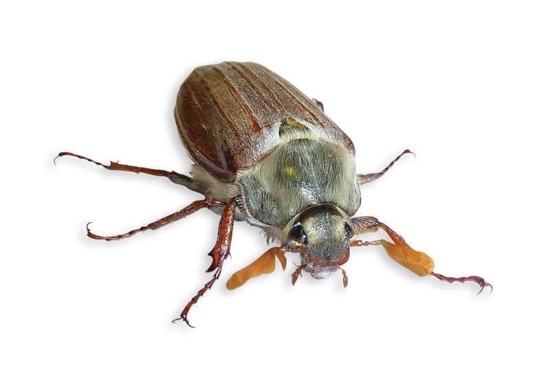 Как избавиться от личинки майского жука на огороде народными средствами. народные методы профилактики и борьбы с майским хрущом