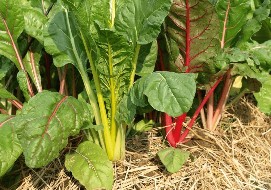 Выращивание мангольда из семян, уход и особенности сбора урожая