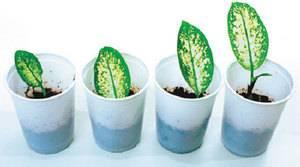 Размножение диффенбахии черенками и семенами