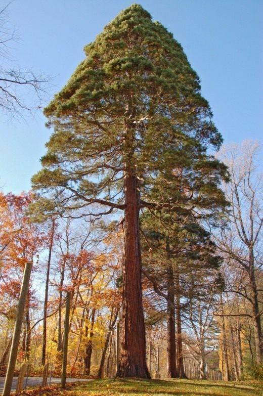10 самых высоких деревьев в мире