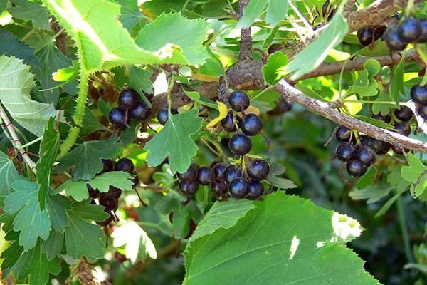 Что собой представляет вкусная ягода йошта?