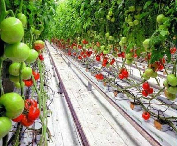 Выращивание огурцов на гидропонике в домашних условиях