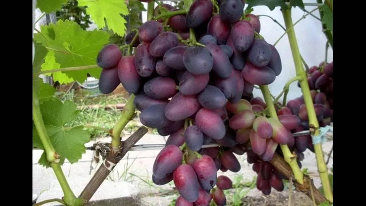 «красотка» —  столовый сорт винограда