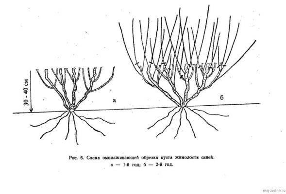Выращивание жимолости: правила посадки и ухода в подмосковье