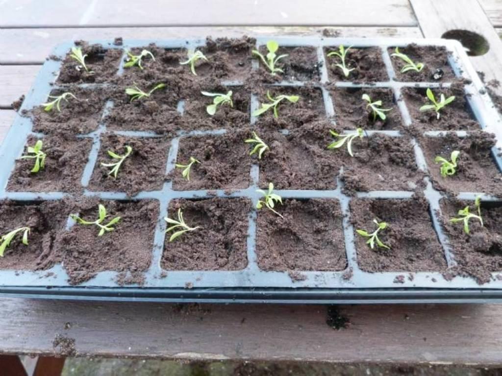 Особенности выращивания и размножения алоэ вера в домашних условиях и открытом грунте