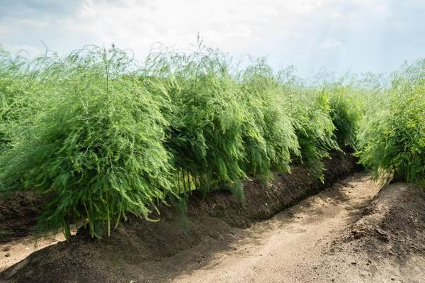 Спаржа выращивание в сибири