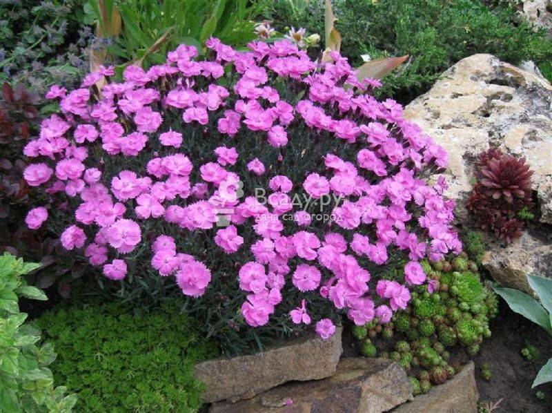 Турецкая гвоздика: посадка и уход, фото цветов на участке