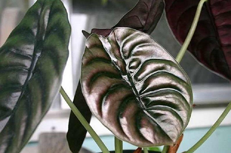 Алоказия клобучковая: описание растения и особенности содержания тропической красавицы в комнатных условиях