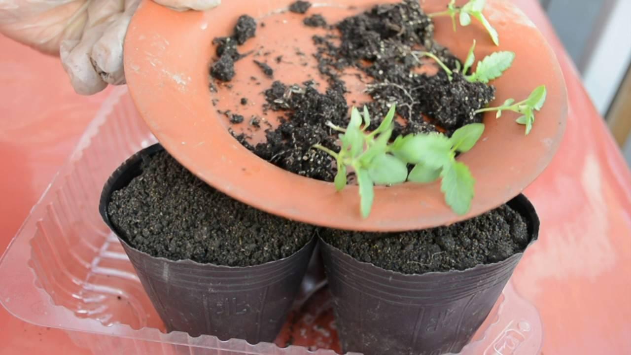 Особенности ухода и проблемы выращивания травянистого растения для открытого грунта — вербены тонкорассеченной