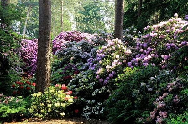 Форзиция: какой вид выбрать, как ухаживать за кустарником?