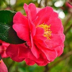 Камелия садовая — посадка и уход за капризной японкой