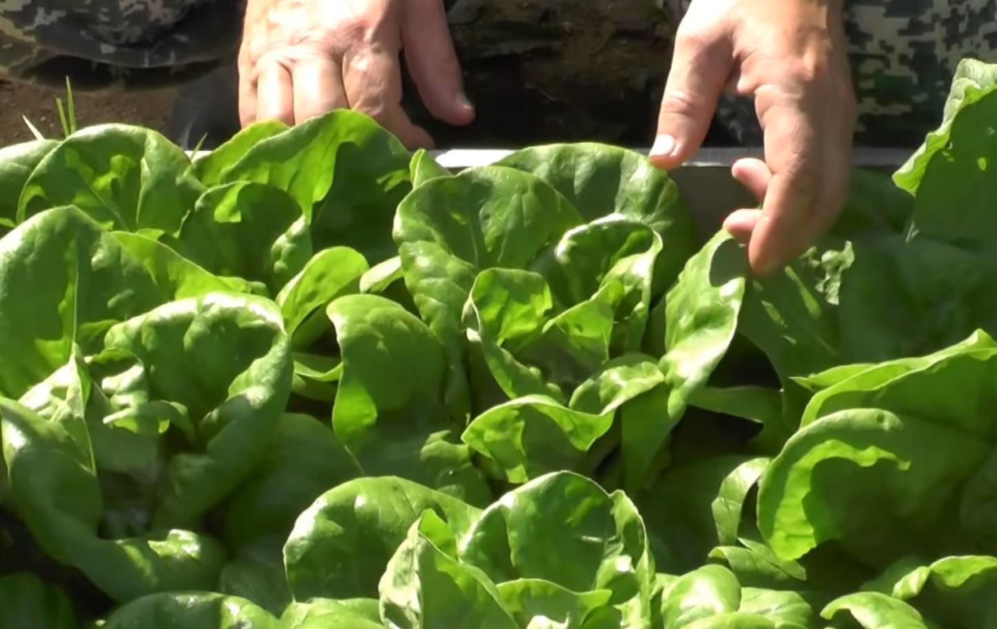 Салат в открытом грунте: как выращивать, лучшие сорта