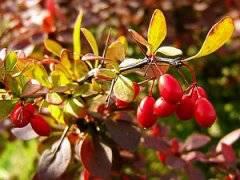 Барбарис – полезные свойства и противопоказания: способы применения, польза и вред лечебного растения