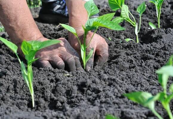 Выращивание и уход за перцем в теплице: от посадки до урожая