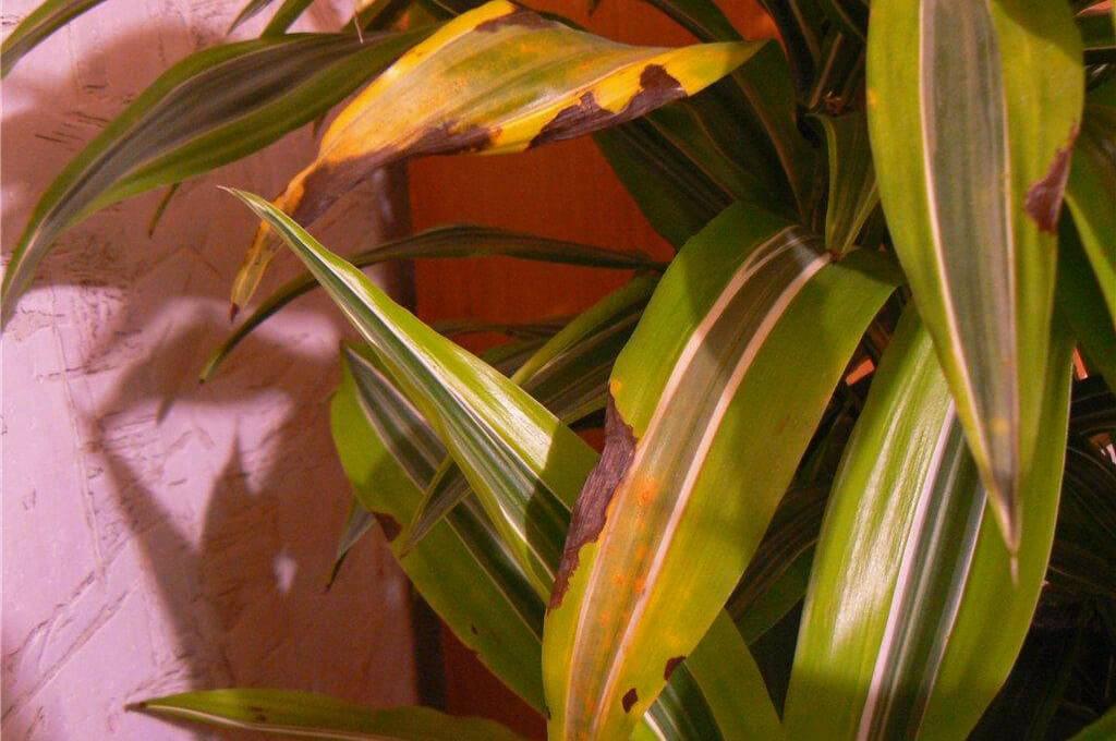 Почему у драцены желтеют, опадают или сохнут листья? что делать в этом случае и при других проблемах?