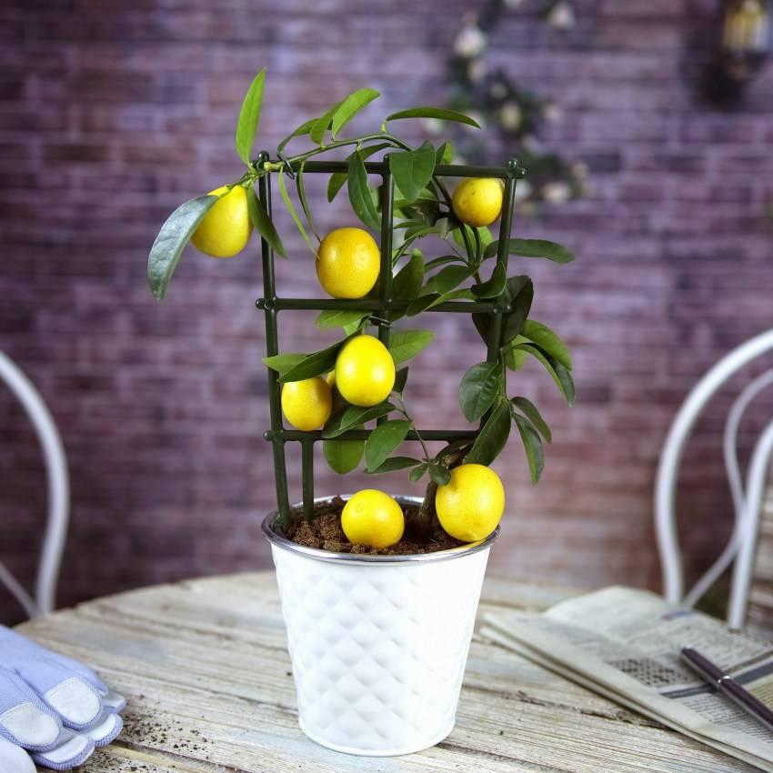 Лимон мейера: основы ухода в домашних условиях