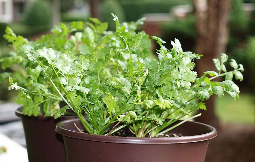 Выращивание кориандра (кинзы) дома на подоконнике из семян: посадка, уход, фото