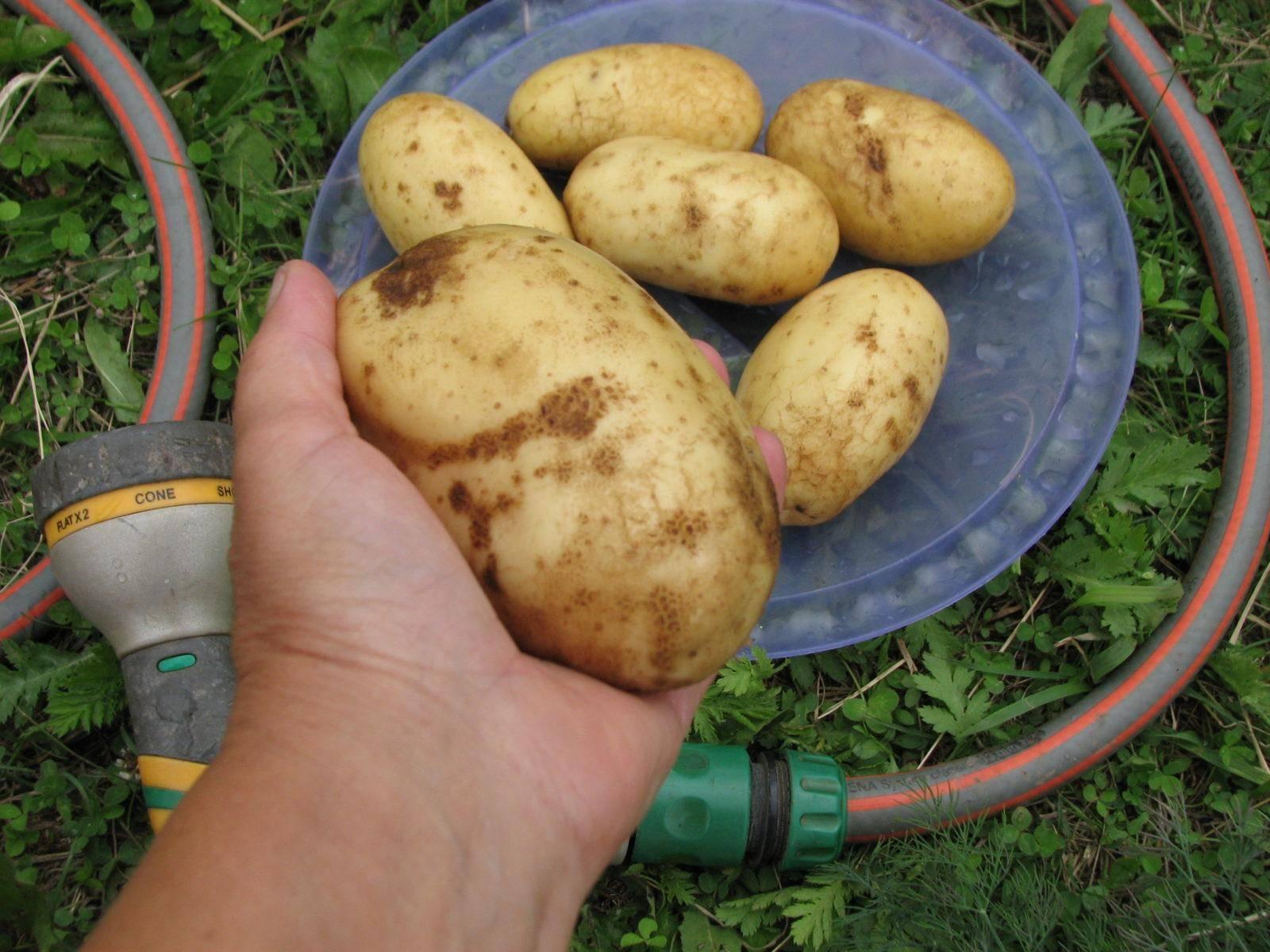 Сажаем картофель на второй урожай после первого