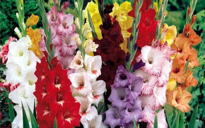 Секреты весенней посадки гладиолусов как залог летнего цветения
