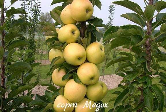 Сорт яблони созвездие