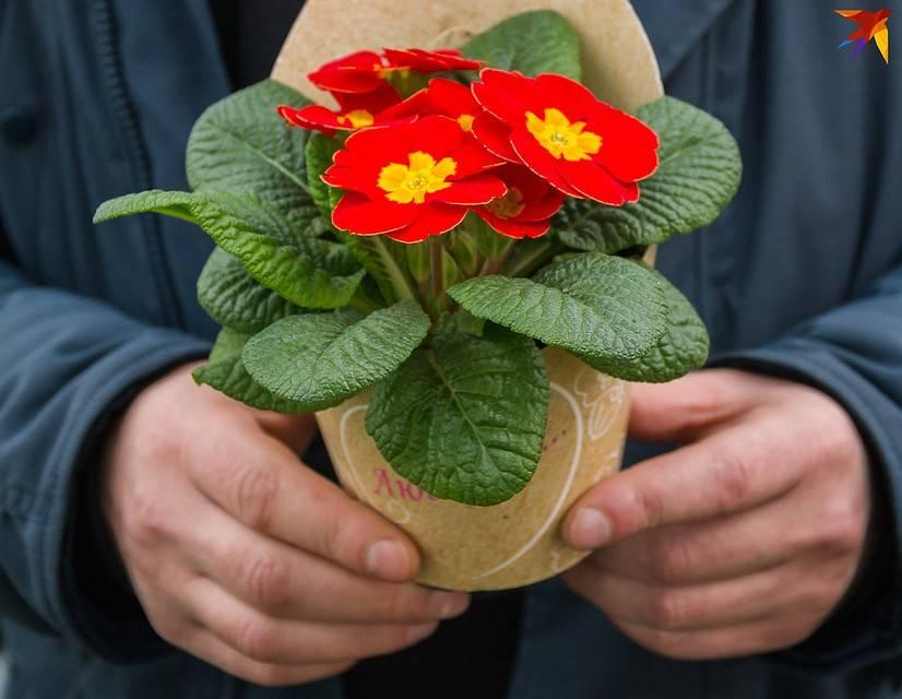 Как выращивать тюльпаны в условиях теплицы