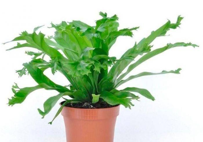 Асплениум, или костенец — зеленый фонтанчик