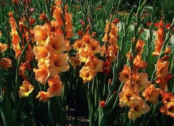 Гладиолусы посадка и выращивание