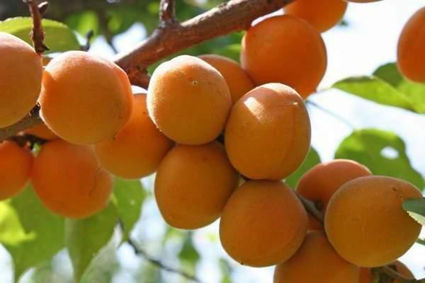 Триумф северный: сорт абрикоса для средней полосы россии