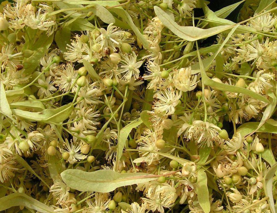 Применение листьев липы в медицине и кулинарии