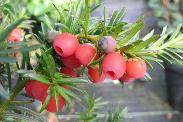 Что собой представляет тис ягодный и как его применять