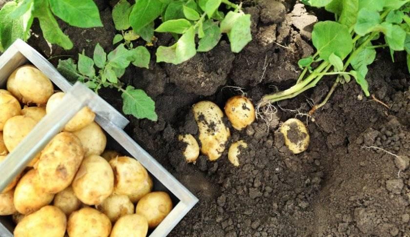 Посадка картофеля в июне 2020 года