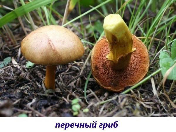 Как научиться распознавать трубчатые грибы