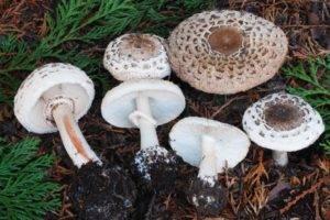 Характеристика съедобных и ядовитых грибов зонтиков с фото