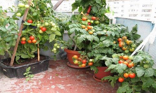 Выращивание томатов в домашних условиях зимой
