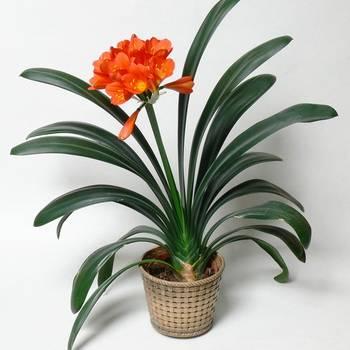 Цветы кливия: выращивание в домашних условиях