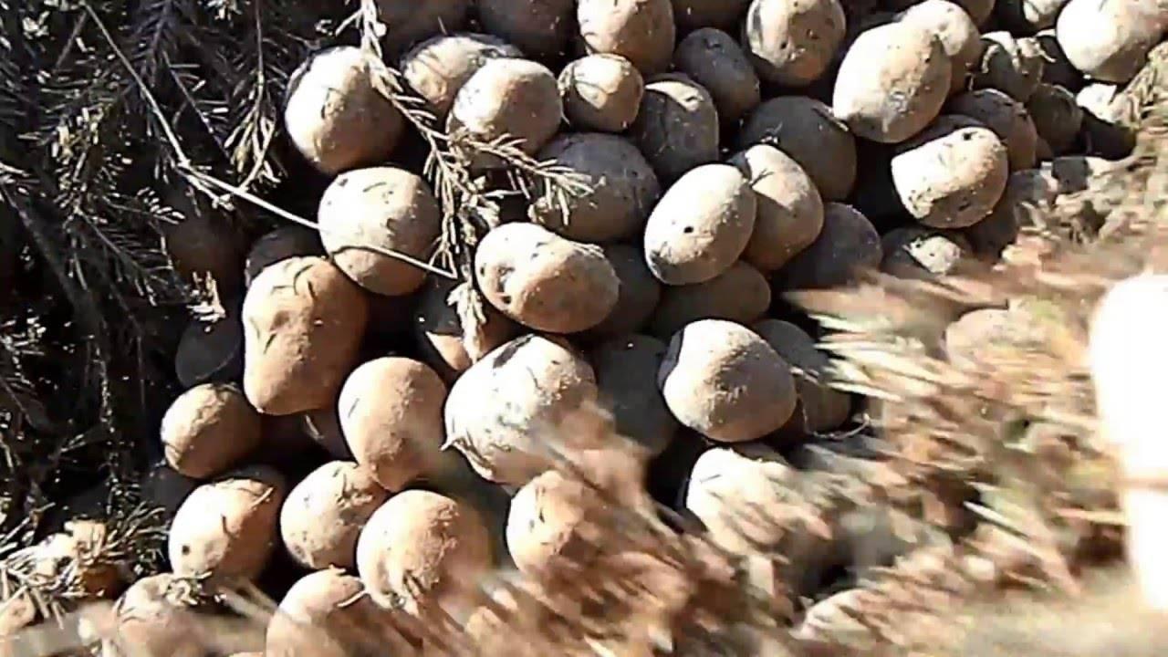 Все о правильном хранении картофеля в овощехранилище: условия, температура, этапы и методы