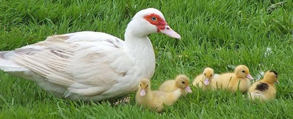 Сколько времени нужно уткам разных пород, чтобы высидеть птенцов?