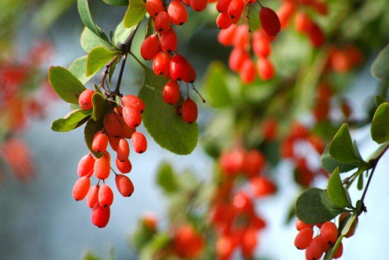 Барбарис - полезные свойства и противопоказания, лучшие рецепты