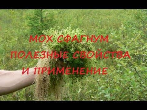 Мох сфагнум: фото, где растет и для чего используют